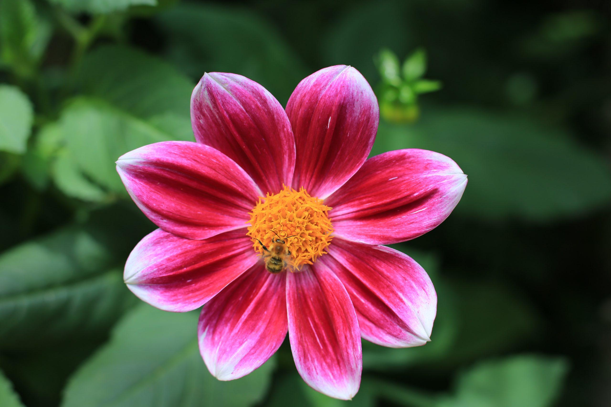 Pinke Blume mit Biene